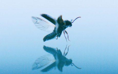 Vuoden 2018 IHME-teos esittelee uhanalaisen kovakuoriaislajin Vantaalta